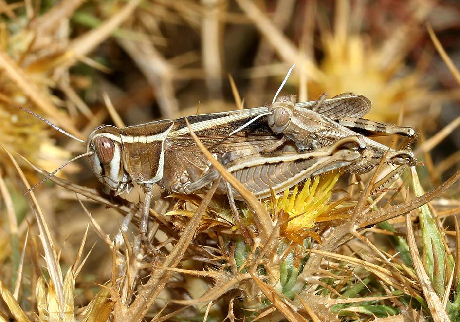 Calliptamus barbarus - Fam. Acrididae/Calliptaminae  -  Kykladen - Caelifera - Kurzfühlerschrecken - grasshoppers