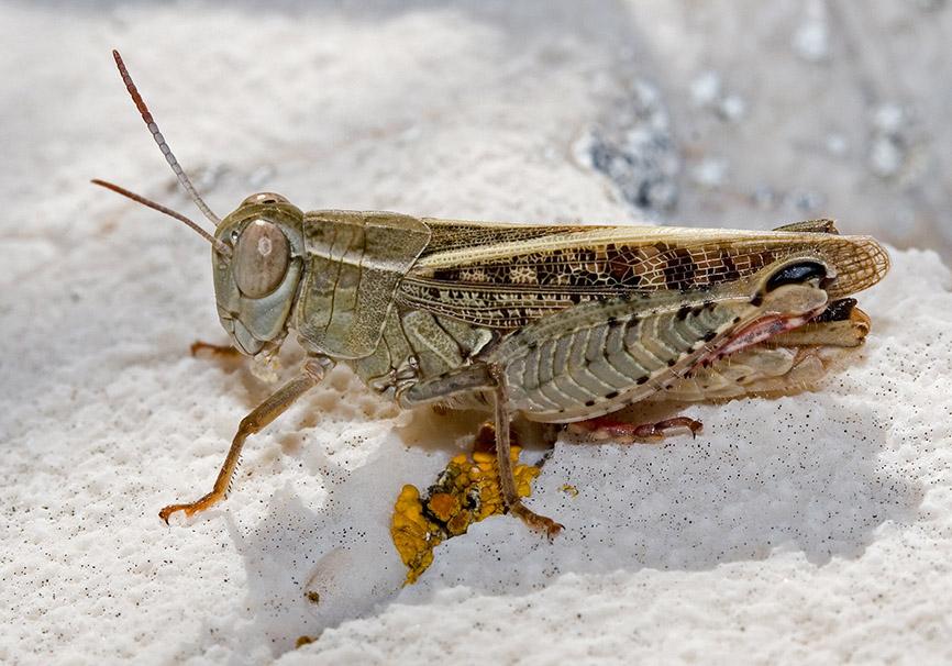 Calliptamus italicus  - Italienische Schönschrecke - Fam. Acrididae/Calliptaminae  -  Kroatien - Caelifera - Kurzfühlerschrecken - grasshoppers