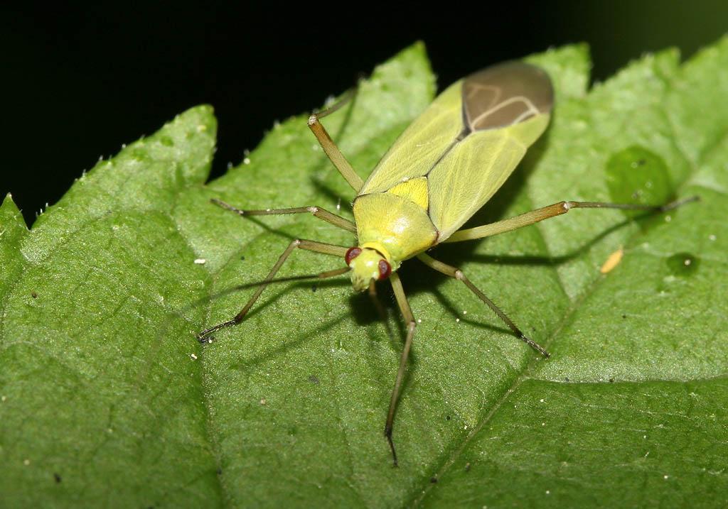 Calocoris alpestris - Fam. Miridae (Blindwanzen) - Heteroptera - Wanzen - true bugs