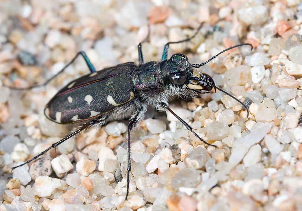 Calomera littoralis fiorii - Sardinien - Carabidae - Laufkäfer - ground beetles
