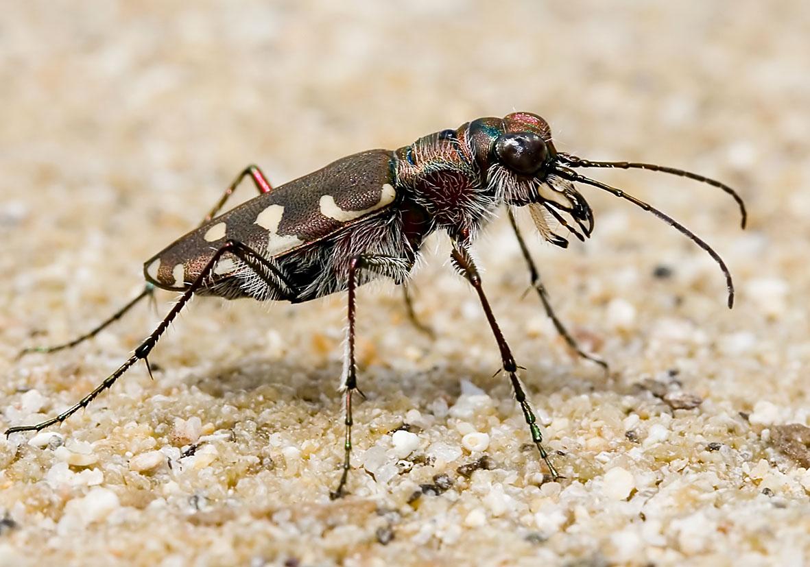 Calomera littoralis - Sandlaufkäfer  - Naxos - Carabidae - Laufkäfer - ground beetles