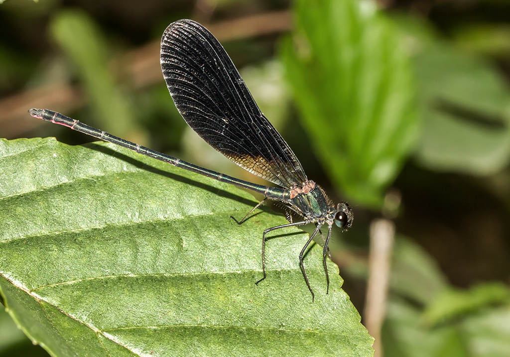 Calopteryx haemorrhoidalis - Bronzene Prachtlibelle male - Fam. Calopterygidae  -  Sardinien - Zygoptera - Kleinlibellen - damselflies