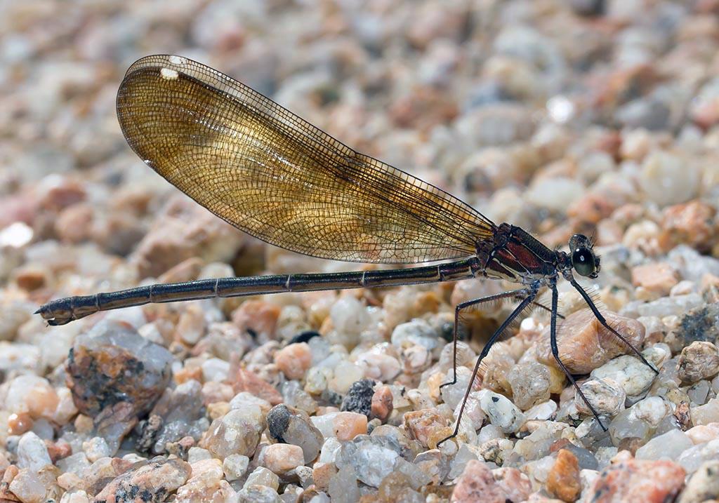 Calopteryx haemorrhoidalis - Bronzene Prachtlibelle female - Fam. Calopterygidae  -  Sardinien - Zygoptera - Kleinlibellen - damselflies