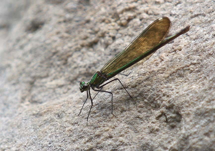 Calopteryx spendens balcanica (female) -  - Gebänderte Prachtlibelle - Fam. Calopterygidae  -  Naxos - Zygoptera - Kleinlibellen - damselflies