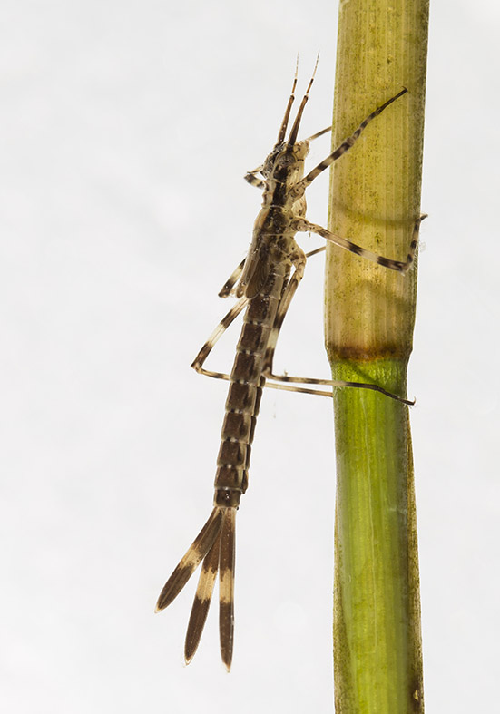 Calopteryx splendens - Gebänderte Prachtlibelle - Calopterygidae - Prachtlibellen  - Zygoptera - Kleinlibellen - damselflies