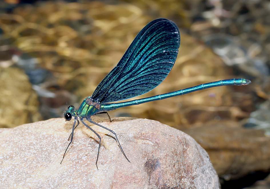 Calopteryx virgo festiva - Blauflügel- Prachtlibelle - Männchen - Fam. Calopterygidae  -  Ikaria - Zygoptera - Kleinlibellen - damselflies