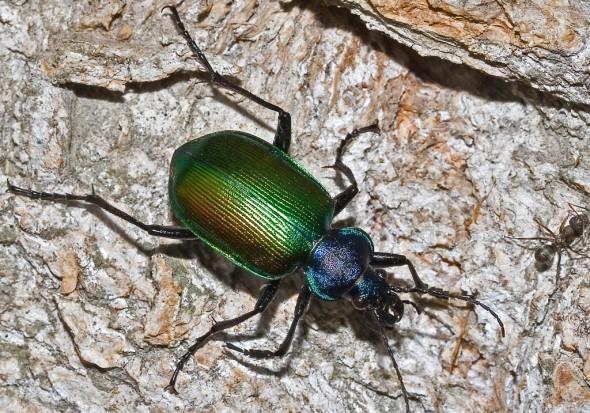 Calosoma sycophanta - Großer Puppenräuber -  - Carabidae - Laufkäfer - ground beetles