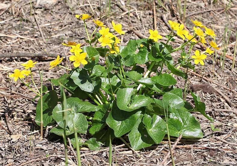 Caltha palustris - Sumpfdotterblume - Fam. Ranunculaceae - Feuchtgebiete - wetlands