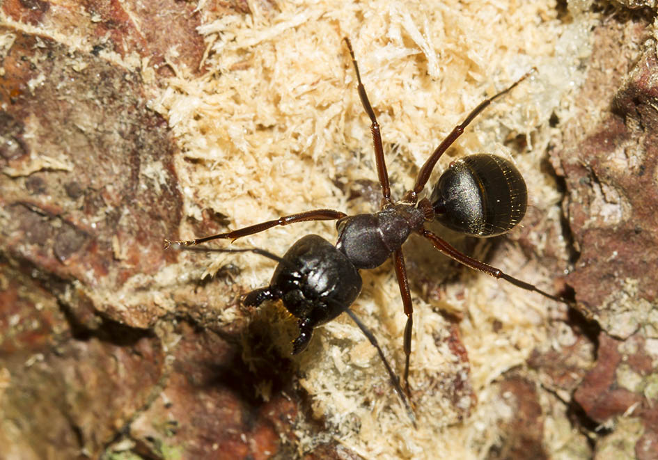 Camponotus herculeanus - Schwarze Rossameise -  - Formicidae - Ameisen - ants