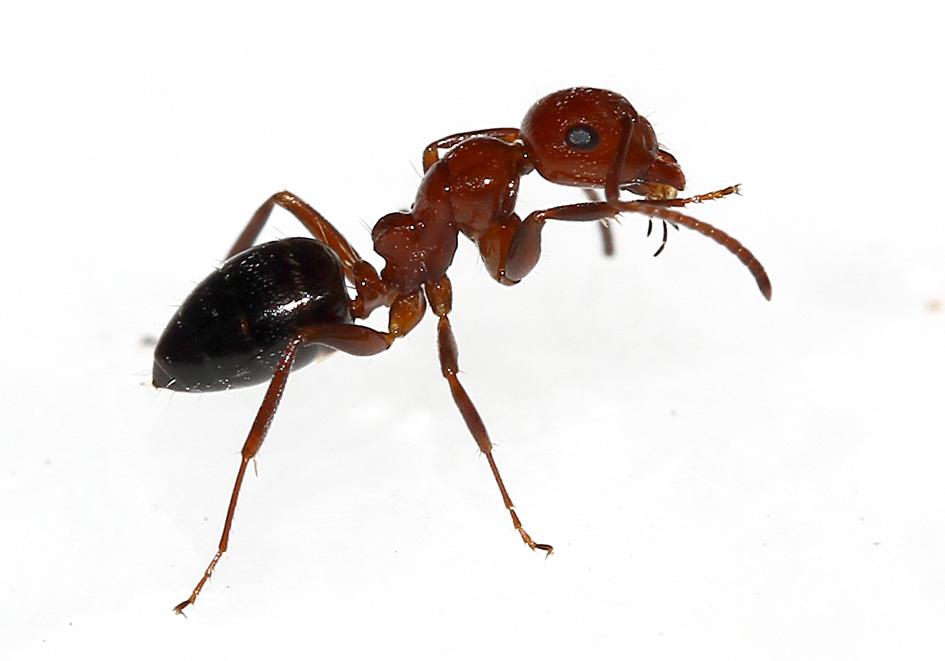 Camponotus lateralis - Korfu - Formicidae - Ameisen - Ants