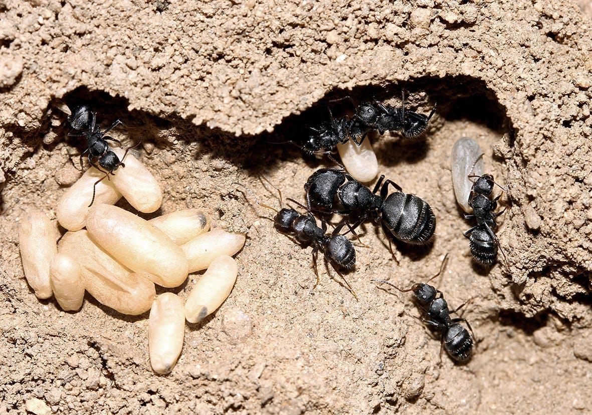 Camponotus sp. subgen. Myrmentoma - Ikaria - Formicidae - Ameisen - Ants