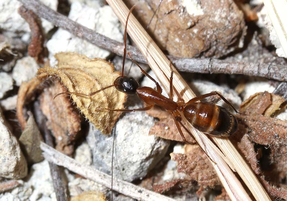 Camponotus sp. (subgen.Tanaemyrmex) - Samos - Formicidae - Ameisen - Ants