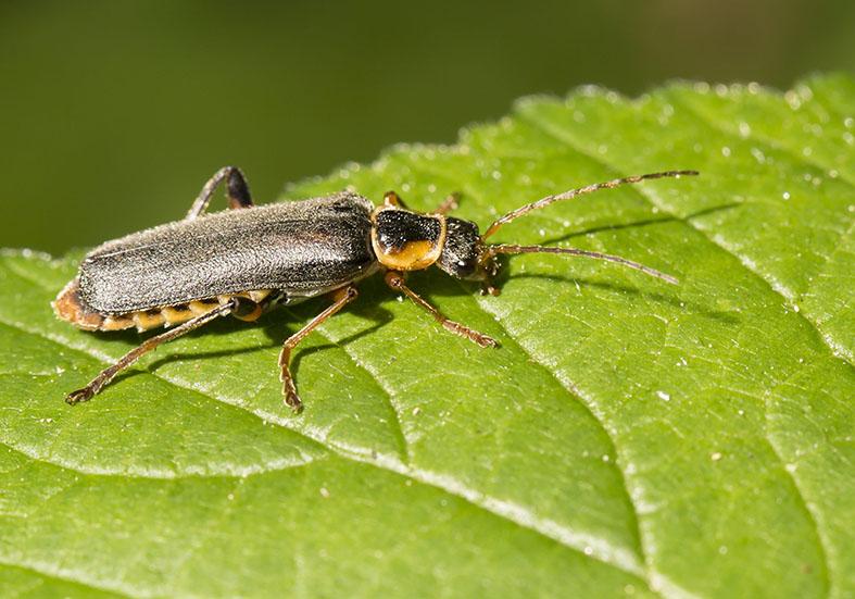 Cantharis nigricans - Graugelber Weichkäfer -  - Cantharidae - Weichkäfer