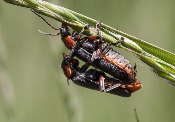 Cantharis rustica - Gemeiner Weichkäfer -  - Cantharidae - Weichkäfer