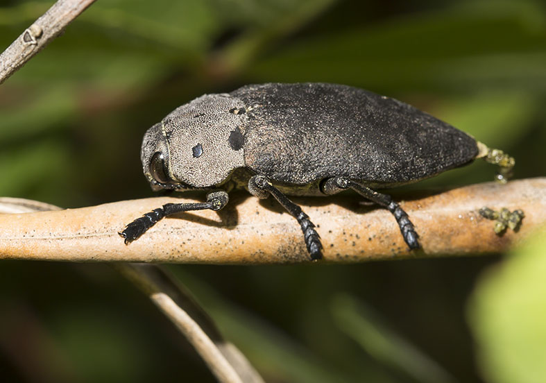 Capnodis porosa - Fam. Buprestidae (Prachtkäfer)   -  Pilion (Griechenland) - Weitere Käferfamilien - other beetle families