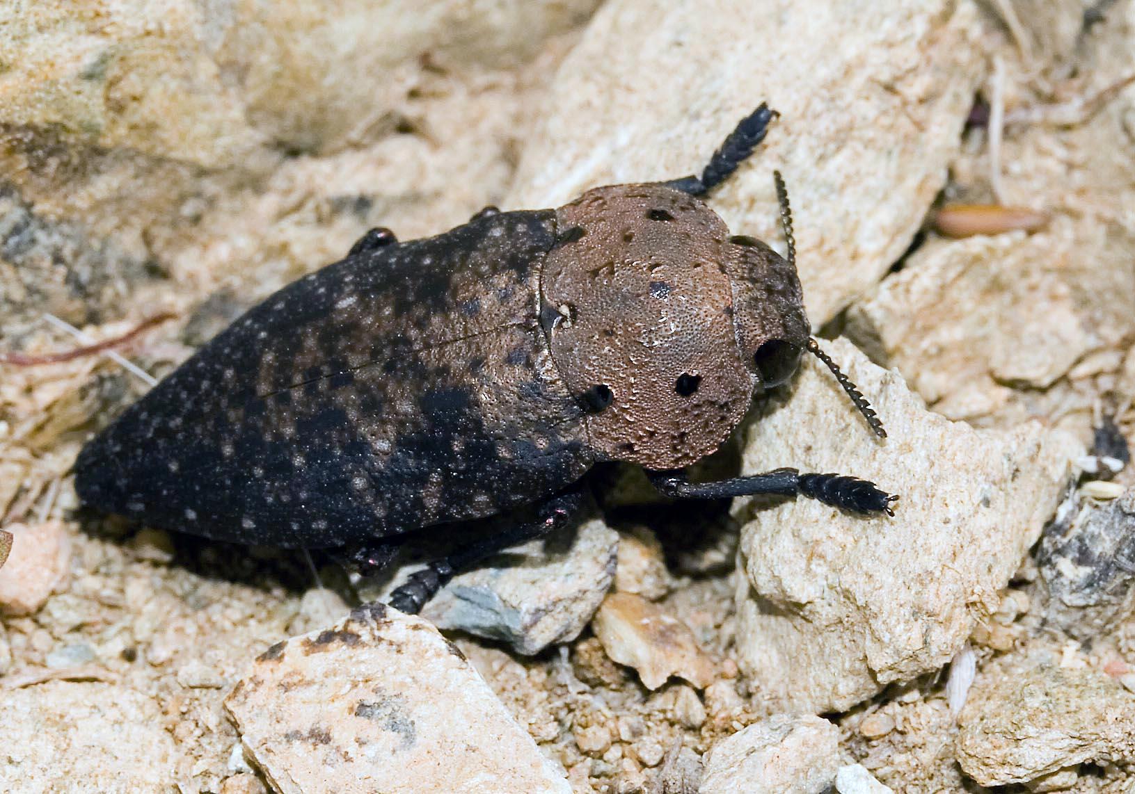 Capnodis tenebricosa - Fam. Buprestidae (Amorgos) - Weitere Käferfamilien - other beetle families