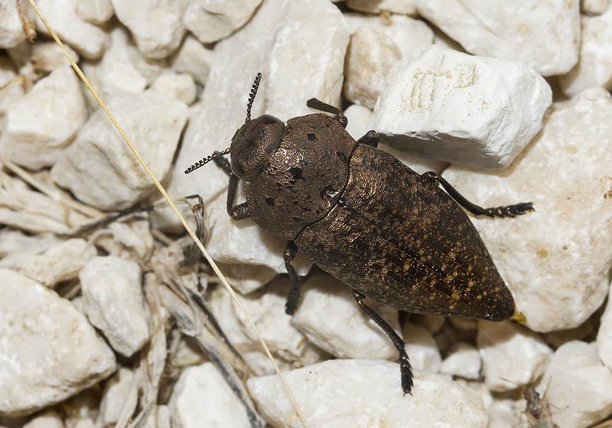 Capnodis tenebricosa - Fam. Buprestidae (Prachtkäfer)   -   -  Meteora - Thessalien - Weitere Käferfamilien - other beetle families