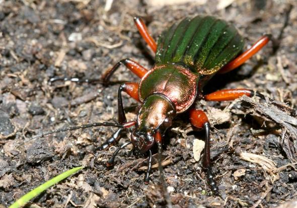 Carabus auronitens - Goldglänzender Laufkäfer -  - Carabidae - Laufkäfer - ground beetles