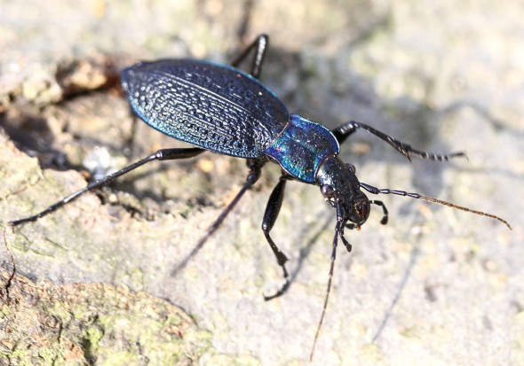 Carabus intricatus - Blauer Laufkäfer -  - Carabidae - Laufkäfer - ground beetles