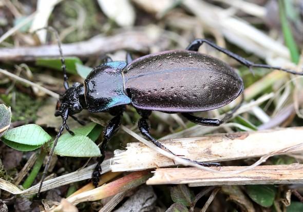 Carabus nemoralis - Hainlaufkäfer -  - Carabidae - Laufkäfer - ground beetles