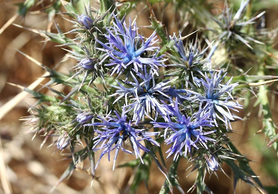 Cardopatium corymbosum (Echinops corymbosus) -  Black chamoeleon -  - Gras- und Felsfluren - grassy and  rocky terrains