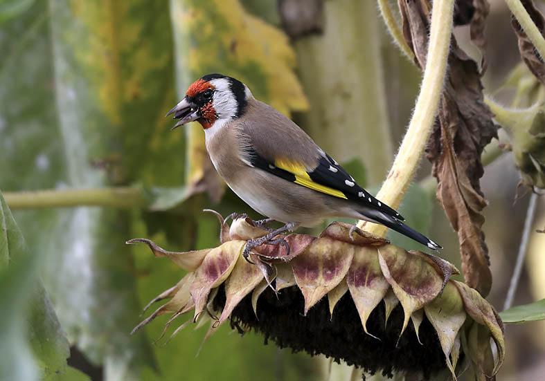 Carduelis carduelis - Stieglitz -  - Passeres - Singvögel - songbirds