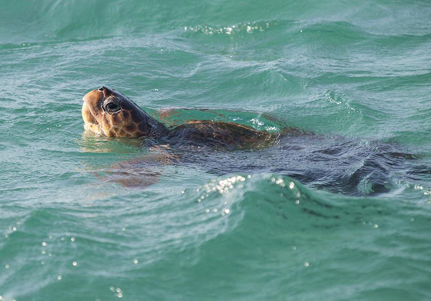 Caretta caretta  - Unechte Karettschildkröte - Naxos - Chelonii - Schildkröten - turtles, tortoises