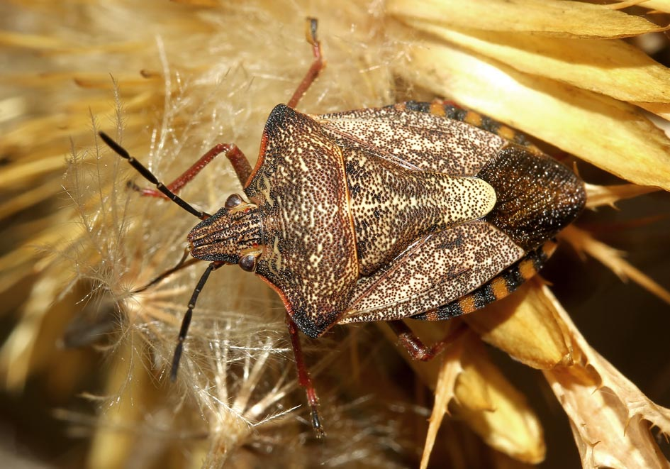 Carpocoris fuscispinus - Fam. Pentatomidae  -  Korfu - Heteroptera - Wanzen - true bugs