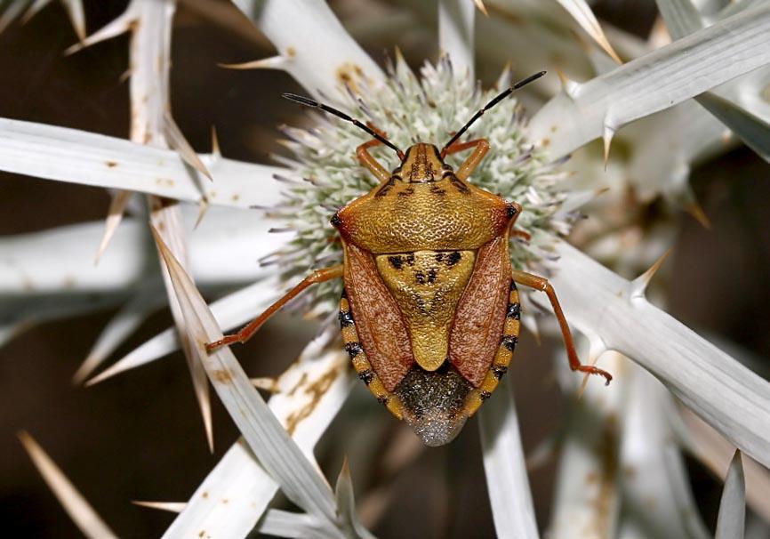 Carpocoris mediterraneus - Fam. Pentatomidae  -  Symi - Heteroptera - Wanzen - true bugs