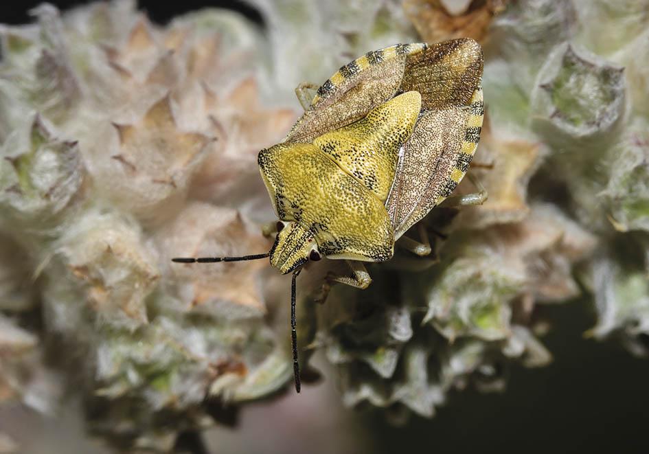 Carpocoris pudicus - Fam. Pentatomidae - Baumwanzen - Heteroptera - Wanzen - true bugs