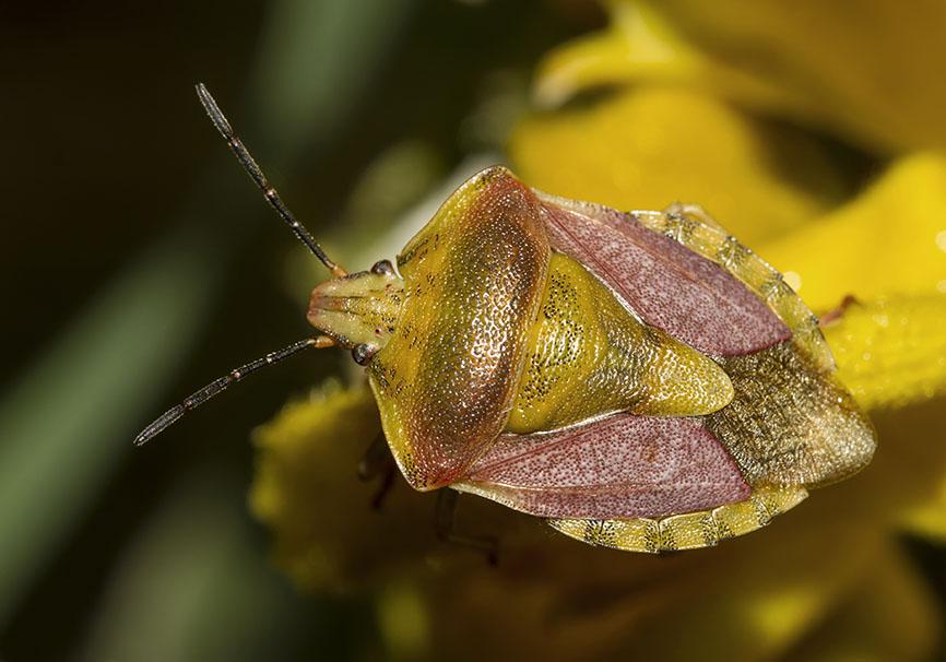 Carpocoris pudicus - Fam. Pentatomidae  -   - Heteroptera - Wanzen - true bugs