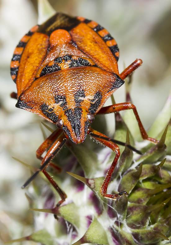 Carpocoris purpureipennis - Fam. Pentatomidae  -  Zagori (Griechenland) - Heteroptera - Wanzen - true bugs