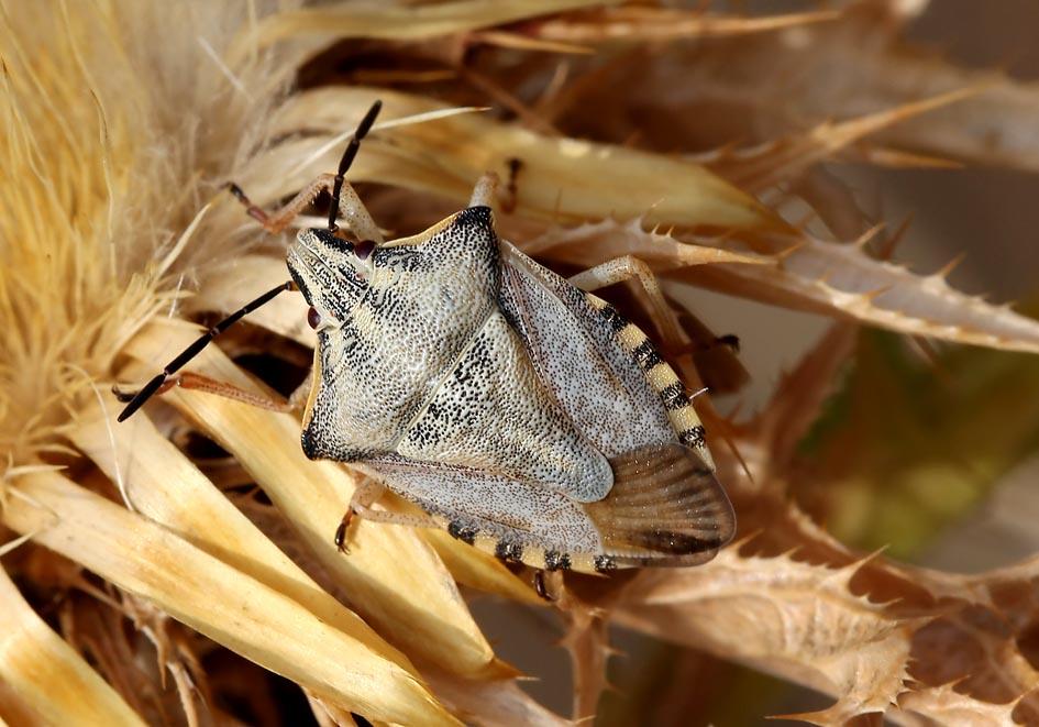 Carpocoris purpureipennis - Fam. Pentatomidae  -  Korfu - Heteroptera - Wanzen - true bugs