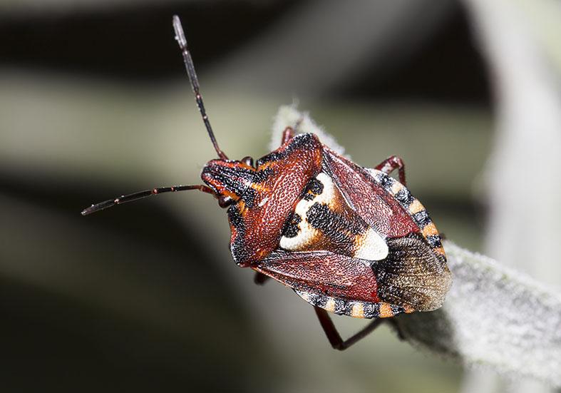 Carpororis purpureipennis - Fam. Pentatomidae  -  Pilion (Griechenland) - Heteroptera - Wanzen - true bugs