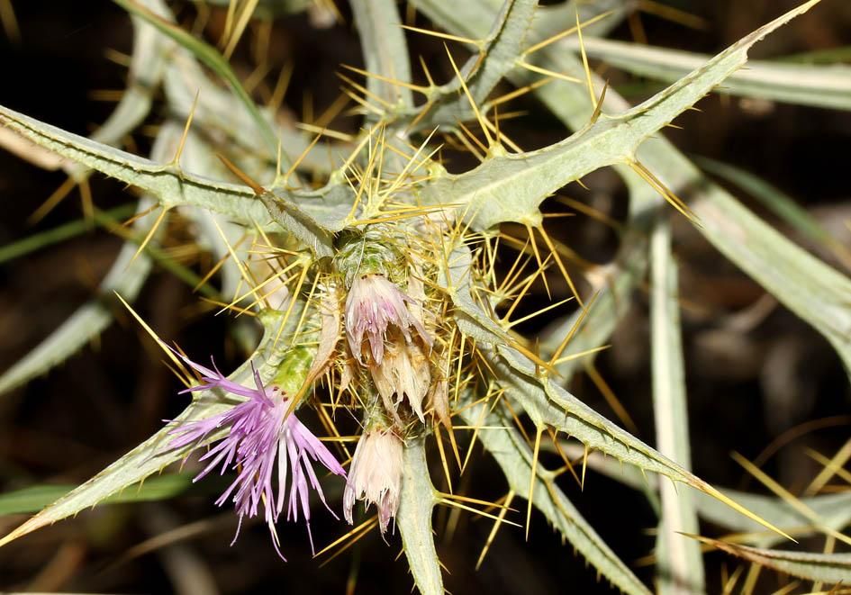 Carthamus dentatus - Gezähnte Färberdistel -  - Ruderal vegetation