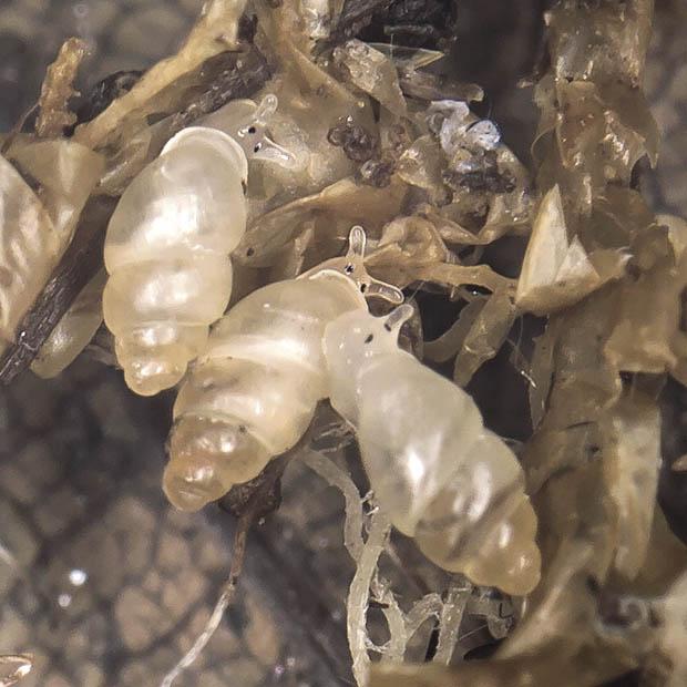 Carychium minimum - Bauchige Zwerghornschnecke - Fam. Carychidae - Zwerghornschnecken - Basommatophora - Wasserlungenschnecken