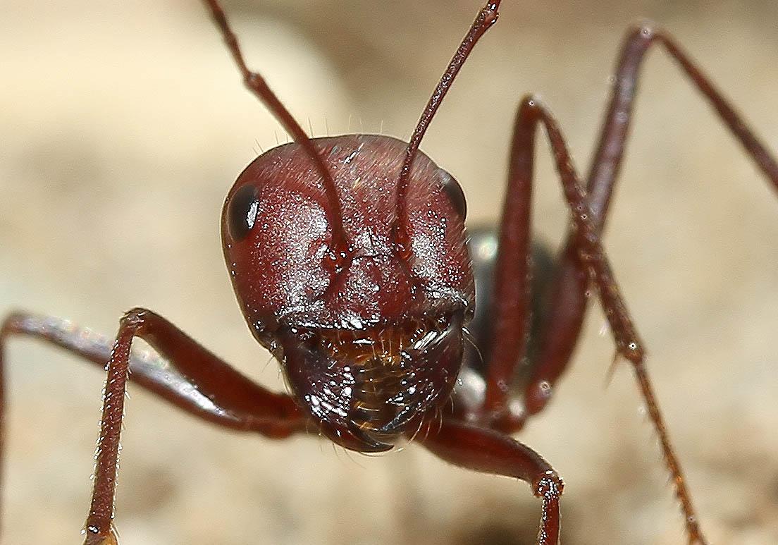 Cataglyphis nodus - Wüstenameise - Samos - Formicidae - Ameisen - Ants
