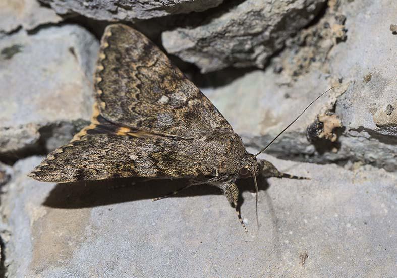 Catocala  nymphaea   -  Steineichen-Ordensband - Fam. Noctuidae  - Zagori (Griechenland) - Nachtfalter - moths