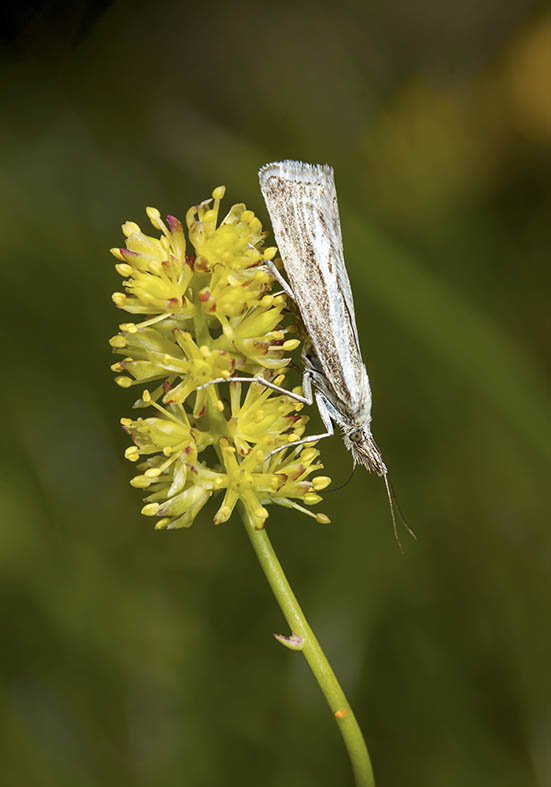 Catoptria combinella - Fam. Pyralidae - Zünsler -
