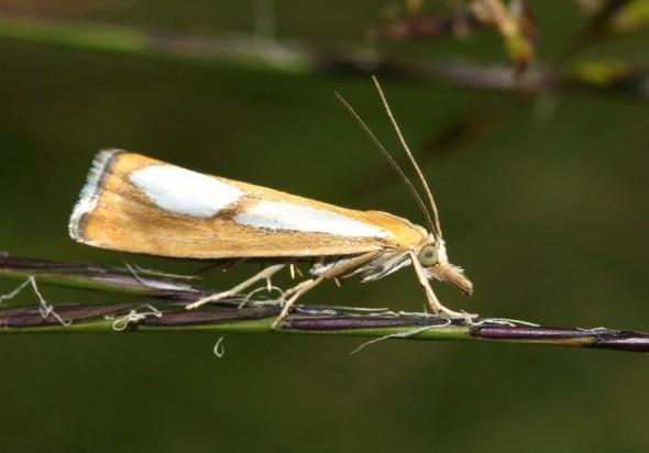 Catoptria conchella - Zünsler - Fam. Pyralidae - Zünsler -