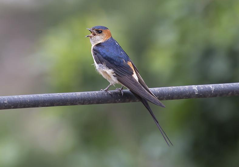 Cecropis daurica - Rötelschwalbe - Zagori (Griechenland) - Aves - Vögel - birds