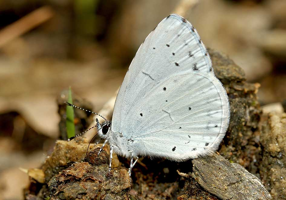 Celastrina argiolus - Faulbaum-Blauling - Samos - Lycaenidae  - Bläulinge  -  gossamer-winged butterflies