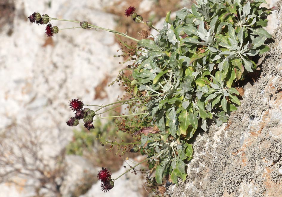 Centaurea atropurpurea - Flockenblume - knapweed -  - Felsen - rocks