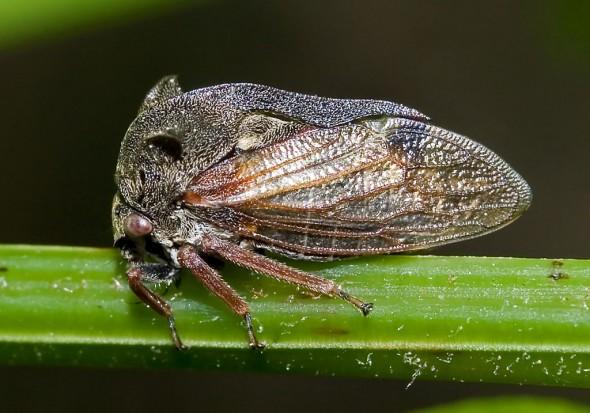 - Centrotus cornutus - Dornzikade - Cicadoidea - Zikaden - cicadas