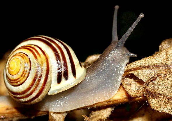 Cepaea hortensis - Garten-Bänderschnecke - Fam. Helicidae - Schnirkelschencken - Stylommatophora - Landlungenschnecken - snails, slugs