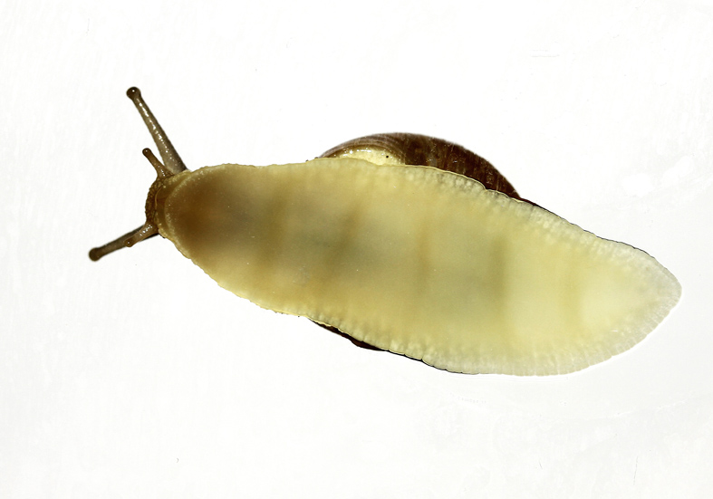 Cepaea hortensis   Garten-Schnirkelschnecke  - Fußperistaltik - Stylommatophora - Landlungenschnecken - snails, slugs