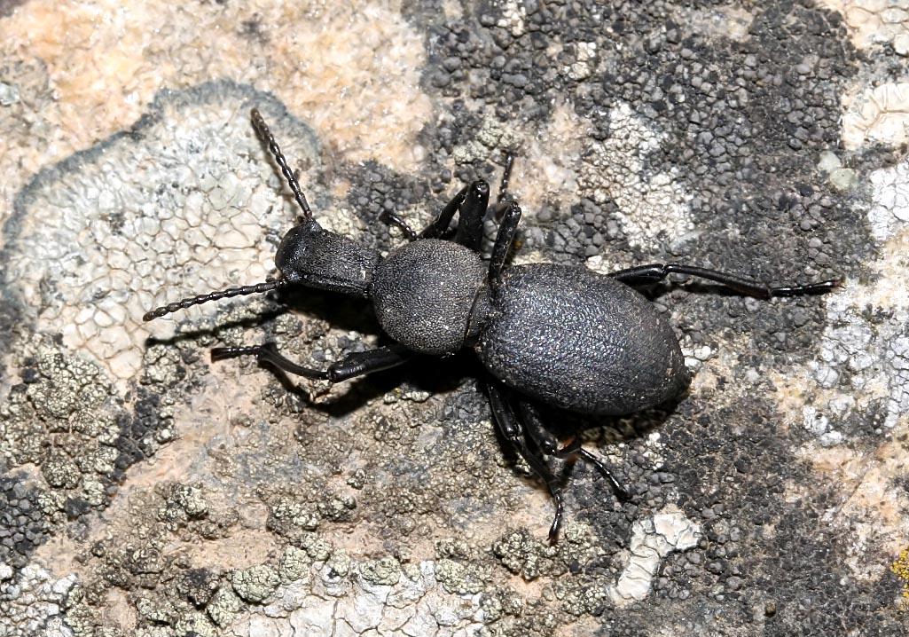 Cephalostenus orbicollis - Naxos - Tenebrionidae - Schwarzkäfer - darkling beetles