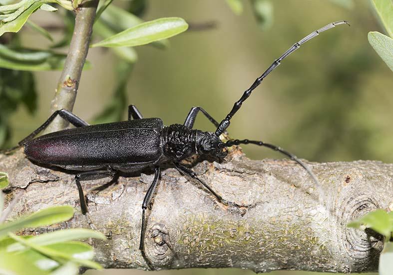 Cerambyx cerdo  - Große Eichenbock  - UFam. Cermbycinae  - Zagori (Griechenland) - Cerambycidae - Bockkäfer - long-horned beetles
