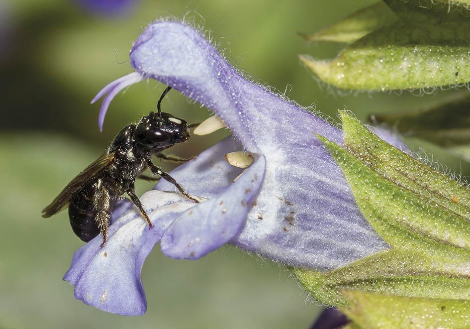 Ceratina cucurbitina  -  - Apidae - Apinae - Bienen - Bees
