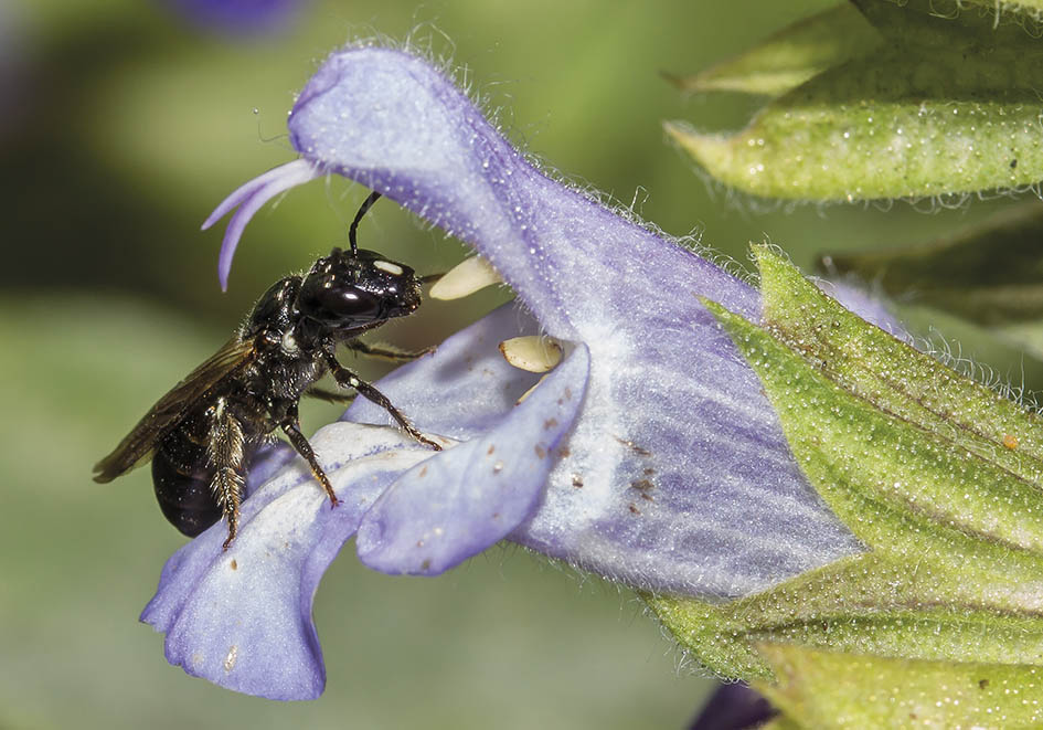 Ceratina cucurbitina - Schwarzglänzende Keulhornbiene -  - Apiformes - Apidae - Bienen - Bees